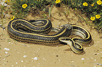 Texas patchnose snake (Salvadora grahamiae lineata), adult shedding skin, Starr County, Rio Grande Valley, Texas, USA