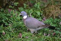 Ringeltaube, Ringel-Taube, Taube, Columba palumbus, woodpigeon, wood pigeon