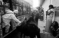 11.2010 Bundi (Rajasthan)<br /> <br /> Man driving away a cow during guru Nanak festival.<br /> <br /> Homme en train d'éloigner une vache pendant le festival de guru Nanak.