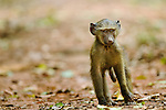 Olive Baboon (Papio anubis) young male, Kibale National Park, western Uganda