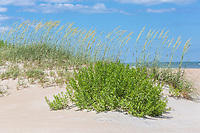 Avon, Outer Banks, North Carolina.  Sea Oats and Other Vegetation Stabilize Sand Dunes along the Beach.