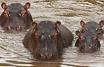 Hippopotamuses and calves, Kenya