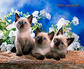 Xavier, ANIMALS, REALISTISCHE TIERE, ANIMALES REALISTICOS, cats, photos+++++,SPCHCATS893,#a#, EVERYDAY