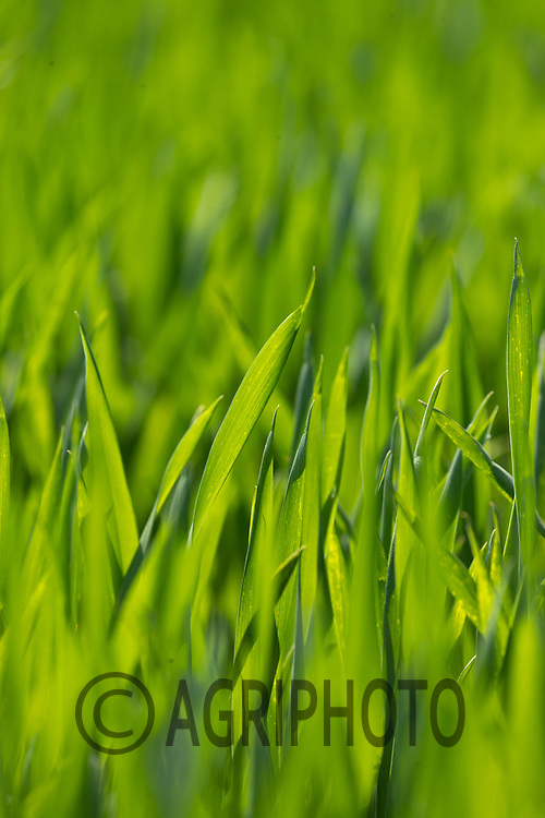 2-6-2021 Winter wheat Plants<br /> ©Tim Scrivener Photographer 07850 303986<br />      ....Covering Agriculture In The UK....