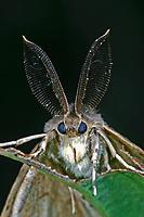 Schwammspinner, Männchen mit Antennen, Schwamm-Spinner, Lymantria dispar, gipsy moth, Gypsy Moth, male, le Bombyx disparate, Trägspinner, Lymantriidae