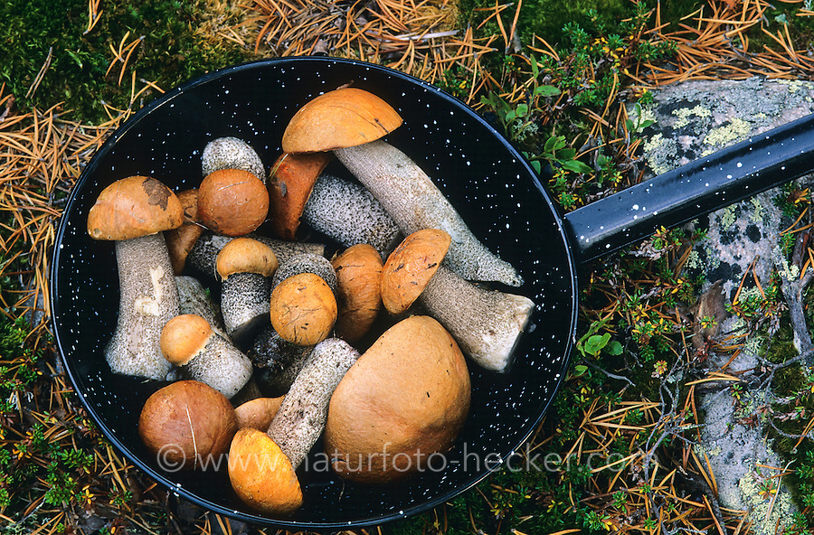 Gesammelte Pilze für eine Mahlzeit, Pilzmahlzeit, Pilzpfanne, Outdoor, Rotkappe, Rotkappen, Leccinum spec., Orange Bolete