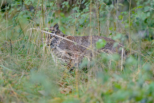 Wild Bobcat (Lynx rufus) hunting along edge of field/meadow.  Olympic National Park, WA.  November.  (Completely wild, non-captive cat.)