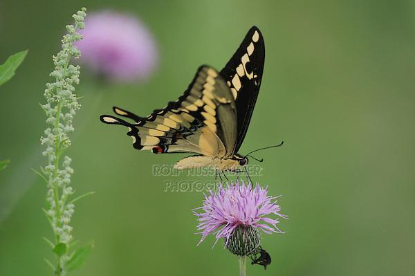 Giant Swallowtail (Papilio cresphontes), adult feeding on Texas thistle (Cirsium texanum), Fennessey Ranch, Refugio, Coastal Bend, Texas, USA
