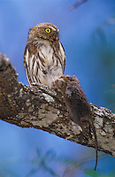 Ferruginous Pygmy-Owl, Glaucidium brasilianum, adult eating on mouse prey, Willacy County, Rio Grande Valley, Texas, USA, June 2004