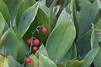 Gewöhnliches Maiglöckchen, Mai-Glöckchen, Frucht, Früchte, Convallaria majalis, Life-of-the-Valley, Muguet