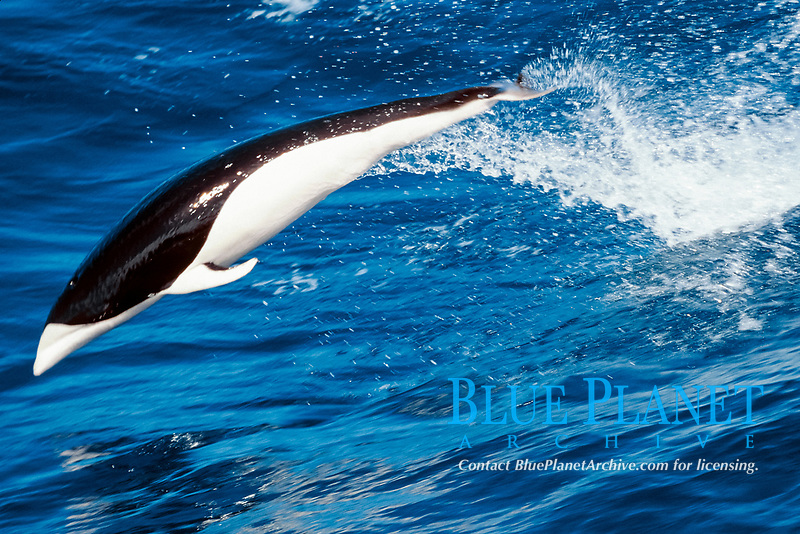 southern right whale dolphin, Lissodelphis peronii, off Chile ( S. Pacific Ocean )