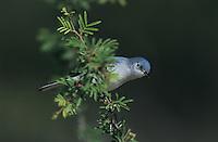 Blue-gray Gnatcatcher, Polioptila caerulea, adult, Willacy County, Rio Grande Valley, Texas, USA, June 2004