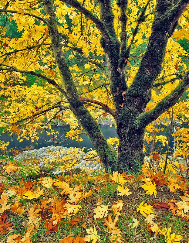 Big Leaf Maple tree in fall color on banks of North Umpqua River, Oregon.