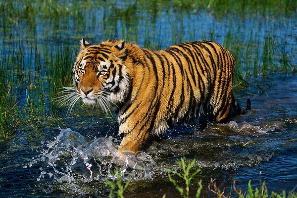 Bengal tiger (Panthera tigris) wading through shallow wetlands.