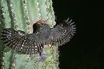 Elf owlet testing wings before leaving nest, Sonoran Desert, Arizona