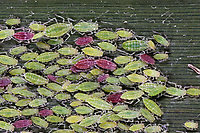 Mehlige Pflaumenblattlaus, Mehlige Pflaumen-Blattlaus, Hyalopterus pruni, Mealy Plum Aphid