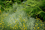 Jacks garden.Ranunculus, fern, and canescens