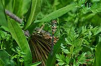 340750003 a wild male mountain emerald somatochlora semicircularis perches on a plant at dismal swamp in modoc county california
