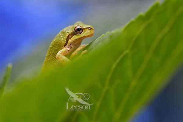 Pacific tree frog (Pseudacris regilla), also known as the Pacific chorus frog on backyard Hydrangea bush.  Pacific Northwest