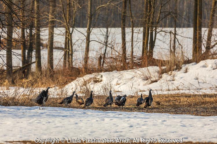 Flock of eastern wild turkeys in northern Wisconsin.