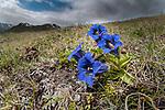 Trumpet / Stemless gentian (Gentiana acaulis)  Nordtirol, Austrian Alps, Austria, July.