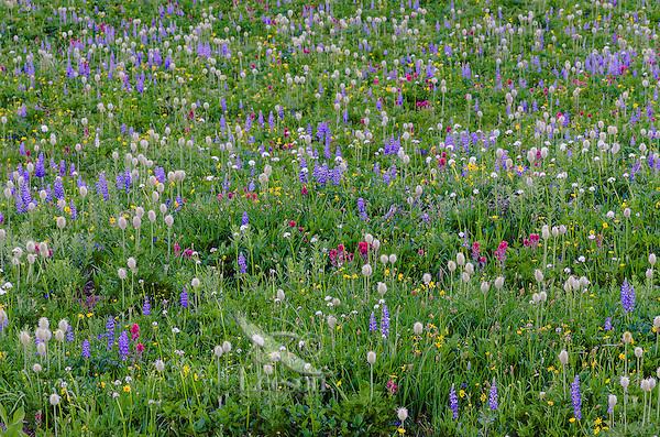 Wildflowers--lupine, arnica, paintbrush, valerian and anemone or western pasqueflower--in subalpine meadow, Mount Rainier National Park, WA.  Summer.