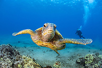 green sea turtle, Chelonia mydas, Maui, Hawaii, USA, Pacific Ocean, MR