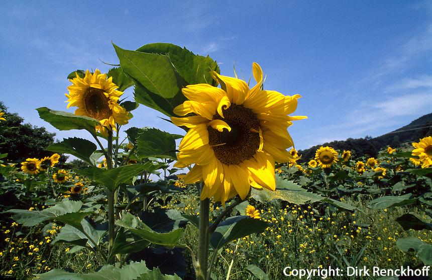 Bulgarien, Sonnenblumenfeld bei Kotel