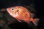 acadian redfish on deep boulder reef, dark background