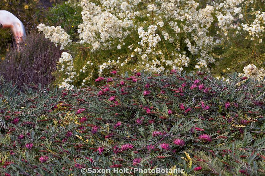 Grevillea 'Austraflora Fanfare' groundcover, University of California Santa Cruz Botanic Garden