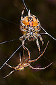 Male Four-spot Orb Weaver Spider (Araneus quadratus) approaching larger female to mate. Peak District National Park, Derbyshire, UK. October.