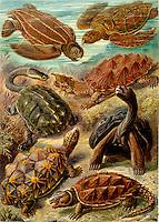 Chelonia (Turtles and Tortoises), by Ernst Haeckel, 1904