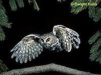 OW07-003z  Saw-whet owl - flying - Aegolius acadicus