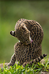 Geoffroy's Cat (Leopardus geoffroyi), habituated female grooming, Ibera Provincial Reserve, Ibera Wetlands, Argentina