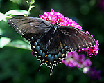 Swallowtail butterfly, butterfly, Swallowtail butterflies are large, colorful butterflies that form the family Papilionidae there are over 550 species, Tropical, caterpillars possess a unique organ behind their heads called osmeterium, Fine Art Photography by Ron Bennett, Fine Art, Fine Art photography, Art Photography, Copyright RonBennettPhotography.com ©