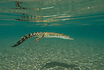 "Saltwater crocodile, crocodylus porosus is the largest of all living crocodilians and reptiles. It is found in suitable habitat throughout Southeast Asia, Northern Australia, and the surrounding waters. Saltwater crocodiles are known in the Northern Territory of Australia as ""salties""."