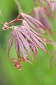 Acer palmatum 'Atropurpureum', mid April.