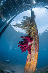Dendronephthya grows on pilings under the Sawandarek Jetty -Raja Ampat