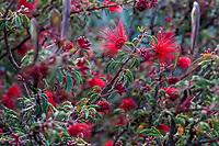 Calliandra californica - Zapotillo or Baja Fairy Duster California native shrub flowering in Leaning Pine Arboretum