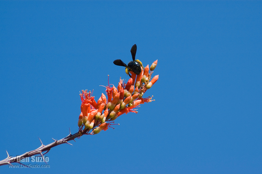 Carpenter bee, Xylocopa sp., on ocotillo flowers, Fouquieria splendens. Organ Pipe Cactus National Monument, Arizona.