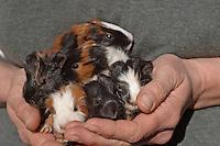 Meerschweinchen, Meer-Schweinchen, Hausmeerschweinchen, Cavia aperea f. porcellus, Junge in Hand, cavy, cavies, Guinea pig, Guinea pigs