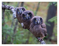 Three Boreal Owl juveniles rest on a branch shortly after leaving the nest. (Alaska)