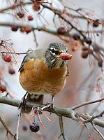 American Robin (Turdus migratorius) eating a crabapple in early winter. Columbus, Ohio, USA.