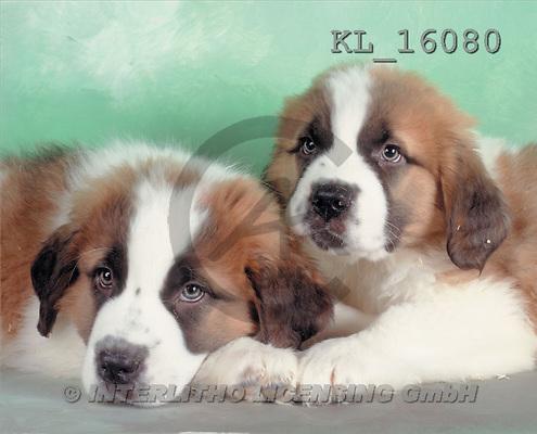 Interlitho, Alberto, ANIMALS, dogs, photos, bernards(KL16080,#A#) Hunde, perros