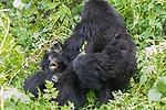 Mountian Gorillas Playing