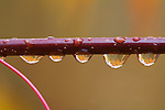 Rain drops hanging on a tree branch reflect the golden colors of leaves