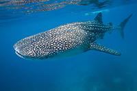 whale shark, Rhincodon typus, swims in the blue water of the Bohol Sea, Philippines, Indo-Pacific Ocean This region is home to the biggest fish in the world and is an important habitat for this endangered animal.
