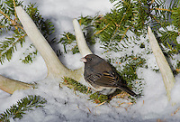 Dark-eyed Junco (Junco hyemalis) in snow admid old white-tailed deer antlers, winter, Nova Scotia, Canada.