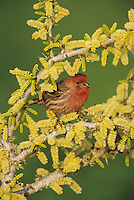 House Finch, Carpodacus mexicanus, male on blooming Blackbrush Acacia (Acacia rigidula) , Lake Corpus Christi, Texas, USA, April 2003