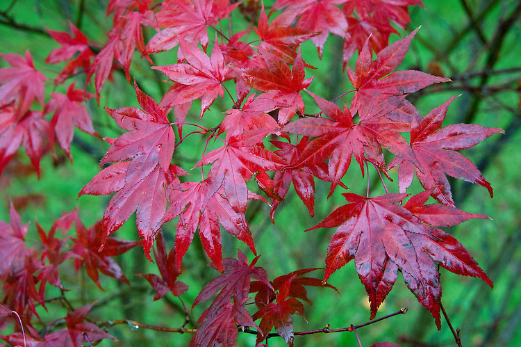 Japanese maple (Acer palmatum 'Bloodgood'), end October.